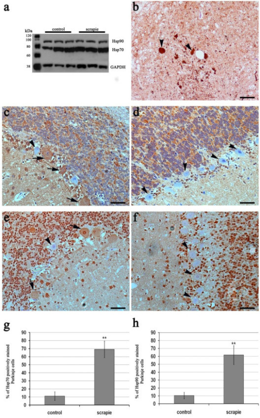 Hsp protein expression and distribution in scrapie tissues. Specificity of anti-Hsp90 and anti-Hsp70 antibodies in the ovine medulla oblongata, as detected by western blotting (a). Arrowheads indicate intense Hsp70 immunostaining of spheroids observed in medulla oblongata (b). Immunohistochemical determination of Hsp70 in scrapie (c) and control (d) animals; Hsp70-positive and -negative Purkinje cells are indicated with arrows and arrowheads, respectively. Immunohistochemical determination of Hsp90 in scrapie (e) and control (f) animals; Hsp90-negative Purkinje cells are indicated by arrowheads, and Hsp90-positive cells are indicated by arrows. Significant increase in the percentage of Purkinje cells staining positively for Hsp70 (g) and Hsp90 (h) in scrapie cerebella. ** p < 0.01 (Student's t-test).