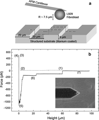 Illustration of the experiment. a Schematic setup: the adhesion strength is mapped for different positions perpendicular to the grooves on the microstructure. b Force–distance curve of an L929 fibroblast on a planar titanium substrate (10 s contact time, 500 pN contact force, 5 μm/s retraction speed). Sections (1)–(3) correspond to the approach of the cell to the substrate, while sections (4)–(7) correspond to the retraction. (1) Baseline of the free cell, (2) contact point, (3) height at the contact force, (4) reduced height after the contact period, (5) maximal adhesion strength, (6) rupture events of receptors/tethers, (7) baseline of the free cell. Inset phase-contrast image of an L929 fibroblast attached to a tipless Arrow TL-1 cantilever
