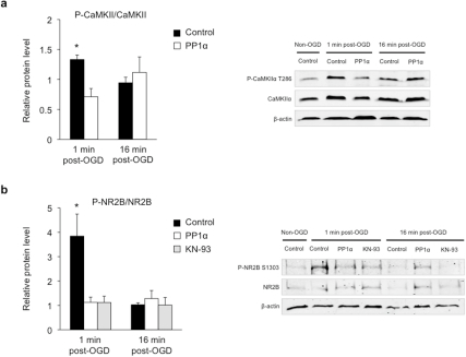 PP1α reverses CaMKIIα Thr286 phosphorylation and mediates the dephosphorylation of NR2B Ser1303 upon OGD.(a) Representative Western blots and corresponding quantitative analysis of CaMKIIα Thr286 phosphorylation. CaMKIIα phosphorylation significantly increases 1 min after OGD (control 1 min post-OGD, n = 8) with no significant change at 16 min (control 16 min post-OGD, n = 6) in control slices. PP1α slices do not display any change in CaMKIIα phosphorylation either 1 min (PP1α 1 min post-OGD, n = 6) or 16 min post-OGD (PP1α 16 min post-OGD, n = 7) compared to control. Phospho-protein levels were normalized to non-phosphorylated protein levels and β-actin was used as a loading control. Quantitative data for each condition were normalized to levels of non-OGD condition (control non-OGD, n = 14) from the same blot and exposure. *p<0.05. (b) Representative Western blots and corresponding quantitative analysis of NR2B Ser1303 phosphorylation. Increased level of phospho-NR2B in control slices 1 min after OGD (control 1 min post-OGD, n = 9), but not 16 min after OGD (control 16 min post-OGD, n = 8). PP1α expression or KN-93 treatment blocks this increase (PP1α 1 min post-OGD, n = 6; KN-93 1 min post-OGD, n = 6), but has no effect 16 min post-OGD (PP1α 16 min post-OGD, n = 8; KN-93 16 min post-OGD, n = 5). Phospho-protein levels were normalized to non-phosphorylated protein levels, and β-actin was used as a loading control. Quantitative data for each condition were normalized to levels of non-OGD condition (control non-OGD, n = 14) from the same blot and exposure. *p<0.05.