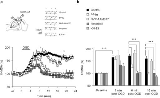 PP1α expression and CaMIIα inhibition normalize NR2B-containing NMDAR-mediated currents after excitotoxicity.(a) Significant enhancement of NMDAR currents following 4 min OGD in control slices (control, n = 6). Expression of PP1α (n = 5), ifenprodil treatment (n = 8), and KN-93 treatment (n = 6) led to a full recovery of NMDAR currents 6 min after the end of OGD. NVP-AAM077 (n = 5) has no effect on NMDAR currents that remain potentiated throughout recording. Top left, Schematic representation of an organotypic hippocampal slice showing the positioning of the recording patch-clamp electrode and the puffing pipette. Top right, Individual responses from single CA1 pyramidal neurons before (1), during (2) and 10 min after (3) OGD. (b) Time course of OGD mean effect on NMDAR currents. +++p<0.001, ***p<0.001.