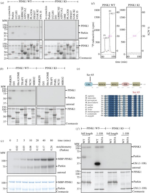 (Overleaf.) TcPINK1 phosphorylates human Parkin at Ser65in vitro. (a) The indicated PD-linked proteins (1 μM) were incubated with either full-length MBP-fusion of wild-type TcPINK1 (1–570) or kinase-inactive (KI) TcPINK1 (D359A) (0.5 μg) and [γ-32P] ATP for 30 min. Assays were terminated by addition of SDS loading buffer and separated by SDS-PAGE. Proteins were detected by Colloidal Coomassie blue staining (lower panel) and incorporation of [γ-32P] ATP was detected by autoradiography (upper panel). Similar results were obtained in three independent experiments. Fine dividing lines indicate that reactions were resolved on separate gels. The substrate bands on the Coomassie gel are denoted with a small red asterisk. All substrates were of human sequence and expressed in E. coli unless otherwise indicated. Tags on the substrates used for this experiment were glutathione s-transferase (GST)-α-synuclein, Parkin (no tag as His-SUMO tag cleaved off), His-UCHL1, GST-DJ1, GST-LRRK2 KI (1326-end D2017A), MBP-ATP13A2, GST-Omi, MBP-PLA2G6, GST-FBX07, GST-GAK-kinase-inactive (D191A), VPS35 (no tag as GST-tag cleaved off). (b) As in (a) except that proteins reported to interact with PINK1 were tested as PINK1 substrates. Human DJ1, Omi, TRAP1, PARL, NCS1 and Miro2 were expressed in E. coli with an N-terminal GST tag. Similar results were obtained in three independent experiments. (c) Timecourse of phosphorylation of Parkin by wild-type TcPINK1. MBP-TcPINK1 (0.5 μg) was incubated in the presence of GST-Parkin (1 μg) and [γ-32P] ATP for the times indicated and assays terminated by addition of SDS loading buffer. Samples were subjected to SDS-PAGE and proteins detected by Colloidal Coomassie blue staining (lower panel) and incorporation of [γ-32P] ATP was detected by autoradiography (upper panel). Gel pieces were quantified by Cerenkov counting for calculation of the stoichiometry of Parkin phosphorylation. Similar results were obtained in two independent experiments. (d) Mapping of phosphopeptides on Parkin after phosphorylation by TcPINK1 in vitro. Full-length GST-Parkin (1 μg) was incubated with 2 μg of either wild-type TcPINK1 (1–570) or KI TcPINK1 (D359A) in the presence of Mg2+[γ-32P] ATP for 60 min. Assays were terminated by addition of LDS loading buffer and separated by SDS-PAGE. Proteins were detected by Colloidal Coomassie blue staining and phosphorylated Parkin was digested with trypsin. The resultant peptides were separated by reverse phase HPLC on a Vydac C18 column (Vydac 218TP5215) equilibrated in 0.1% (v/v) trifluoroacetic acid and the column developed with an acetonitrile gradient (diagonal line). The flow rate was 0.2 ml min−1 and fractions (0.1 ml each) were collected and analysed for 32P radioactivity by Cerenkov counting. Two major 32P-labelled peaks (P1, P2) were identified following incubation with wild-type TcPINK1 (left). No peaks were identified following incubation with kinase-inactive TcPINK1 (right). (e) Schematic of domain organization of Parkin illustrating that Ser65 lies within the Ubl domain (upper panel) and sequence alignment of residues around Ser65 in human Parkin and a variety of lower organisms showing high degree of conservation. Abbreviations: Ubl, ubiquitin-like; IBR, in-between-RING; RING, really interesting new gene. (f) Mutation of Ser65Ala (S65A) abolishes Parkin phosphorylation by TcPINK1. Full-length wild-type TcPINK1 (1–570) and kinase inactive TcPINK1 (D359A) against wild-type or S65A mutants of full-length Parkin, or the isolated Ubl-domain-containing N-terminal fragment (residues 1–108). The indicated substrates (2 μM) were incubated in the presence of the indicated enzyme (1 μg) and [γ-32P] ATP for 30 min. Assays were terminated by addition of SDS loading buffer and separated by SDS-PAGE. Proteins were detected by Colloidal Coomassie blue staining (lower panel) and incorporation of [γ-32P] ATP was detected by autoradiography (upper panel).