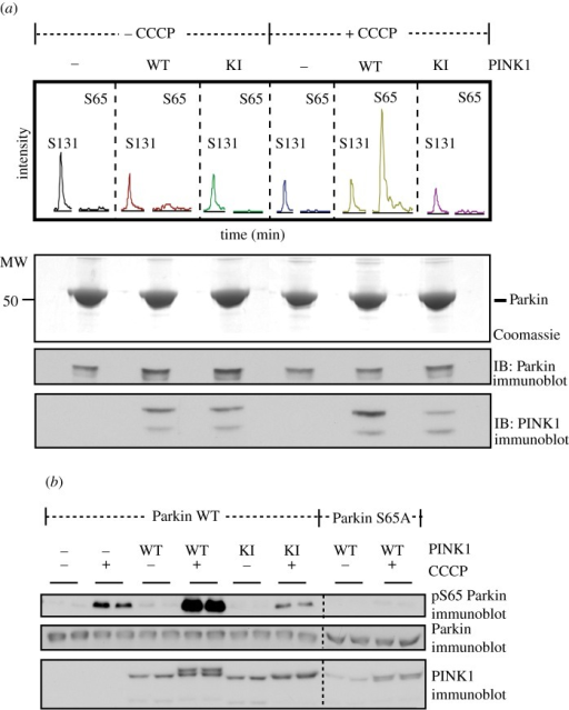 Human Parkin Ser65 is a substrate of human PINK1 upon CCCP stimulation. (a) Confirmation by mass spectrometry that Ser65 of human Parkin is phosphorylated by CCCP-induced activation of human wild-type PINK1-FLAG. Flp-In T-Rex HEK293 cells expressing FLAG-empty, wild-type PINK1-FLAG, and kinase-inactive PINK1-FLAG (D384A) were co-transfected with HA-Parkin, induced with doxycycline and stimulated with 10 μM of CCCP for 3 h. Whole-cell extracts were obtained following lysis with 1% Triton and approximately 30 mg of whole-cell extract were subjected to immunoprecipitation with anti-HA-agarose and run on 10% SDS-PAGE and stained with colloidal Coomassie blue. Coomassie-stained bands migrating with the expected molecular mass of HA-Parkin were excised from the gel, digested with trypsin, and subjected to high performance liquid chromatography with tandem mass spectrometry (LC-MS-MS) on an LTQ-Orbitrap mass spectrometer. Extracted ion chromatogram analysis of Ser131 and Ser65 phosphopeptide (3+ R.NDWTVQNCDLDQQSIVHIVQRPWR.K+P). The total signal intensity of the phosphopeptide is plotted on the y-axis and retention time is plotted on the x-axis. The m/z value corresponding to the Ser131 phosphopeptide was detected in all conditions whilst that of the Ser65 phosphopeptide was only detected in samples from wild-type PINK1-FLAG-expressing cells following CCCP treatment. (b) Characterization of Parkin phospho-Ser65 antibody. Flp-In T-Rex HEK293 cells expressing FLAG-empty, wild-type PINK1-FLAG, and kinase-inactive PINK1-FLAG were co-transfected with untagged wild-type (WT) or Ser65Ala (S65A) mutant Parkin, induced with doxycycline and stimulated with 10 μM of CCCP for 3 h. 0.25 mg of 1% Triton whole-cell lysate were subjected to immunoprecipitation with anti-Parkin antibody (S966C) covalently coupled to protein G Sepharose and then immunoblotted with anti-phospho-Ser65 antibody in the presence of dephosphorylated peptide. Ten per cent of the immunoprecipitate (IP) was immunoblotted with total anti-Parkin antibody. Twenty five micrograms of whole cell lysate was immunoblotted with total PINK1 antibody.