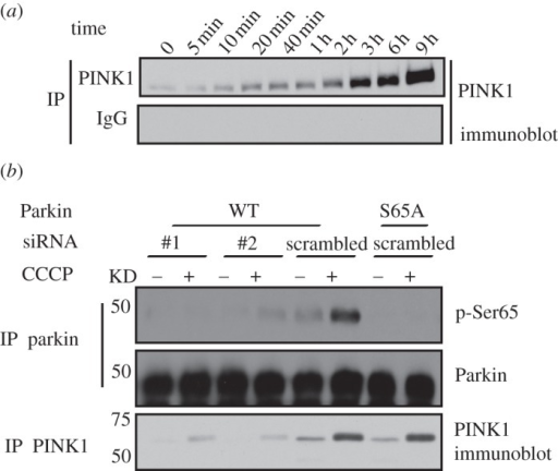Knock-down of endogenous PINK1 abrogates Parkin Ser65 phosphorylation. (a) Timecourse of endogenous PINK1 stabilization by CCCP treatment. HEK293 cells were stimulated at the indicated time points with 10 μM of CCCP. One milligram of whole-cell lysates were immunoprecipitated with anti-PINK1 antibody (S085D) or pre-immune IgG covalently coupled to protein G Sepharose and resolved by 8% SDS-PAGE. Immunoblotting was performed with total PINK1 antibody (Novus). Representative of three independent experiments. (b) Knock-down of endogenous PINK1 abrogates Parkin Ser65 phosphorylation. HEK293 cells were co-transfected with PINK1 siRNA (#1 or #2) or scrambled siRNA (scrambled) and untagged wild-type (WT) or Ser65Ala (S65A) mutant Parkin as indicated using TransFectin reagent (Bio-Rad). Forty-eight hours post-transfection, cells were treated with or without 10 μM CCCP for 3 h. 0.25 mg of 1% Triton whole-cell lysate were subjected to immunoprecipitation with GST-Parkin antibody (S966C) covalently coupled to protein G Sepharose and then immunoblotted with anti-phospho-Ser65 antibody in the presence of dephosphorylated peptide. Five per cent of the IP was immunoblotted with total anti-Parkin antibody. 0.25 mg of whole-cell lysates were immunoprecipitated with anti-PINK1 antibody (S085D) and immunoblotted with anti-PINK1 antibody (Novus). Representative of three independent experiments.