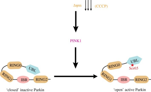 Model of Parkin activation by PINK1. Under basal conditions Parkin is kept in a closed inactive conformation by Ubl-mediated autoinhibition. Following mitochondrial depolarization, PINK1 phosphorylates Parkin at Ser65 thereby relieving Parkin autoinhibition and enabling Parkin to become active to ubiquitylate target substrates.