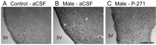 Fos induction in the rostral ARC following male exposure.Representative bright-field photomicrographs showing greater Fos immuno-localization in anestrous ewes exposed to males, with or without kisspeptin antagonist treatment (Male - aCSF, Male - P-271), compared to ewes not exposed to males (Control – aCSF). 3V, Third ventricle. Scale bar, 200 µm.