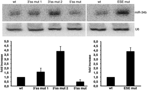 Splicing of SO pri-miR-34b affects miRNA biosynthesis. Northern blot analysis of miR-34b and U6 snRNA. The analysis was performed on the AG dinucleotide mutants, on the 5′ss mutant described in Figure 3 (3′ss mut 1, 3′ss mut 2 and 5′ss mut) and on the mutant of the ESE shown in Figure 4 (ESE mut). Histograms show the fold increase of mature miR-34b normalized to U6. The abundance of miR-34b in the wild-type construct is set to 1.