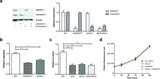 Knockdown of IQGAP1 and/or caveolin-1 in PC-3 cells reduces migration and invasion in vitroPC-3-luciferase cell lines with reduced expression of IQGAP1 (shIQGAP1), caveolin-1 (shCav1) and both (shIQ+shCav) were generated using lentiviral-mediated shRNA. (a) Relative protein expression of IQGAP1 and caveolin-1 was measured by immunoblotting and quantified over 3 experiments. (b) Transmigration, (c) Matrigel invasion and (d) proliferation assays were performed for PC-3 stable cell lines. Error bars show standard error of the mean. **p < 0.005, ***p < 0.0005. Additional shRNAs produced similar phenotypes (Supplementary Figure S7).