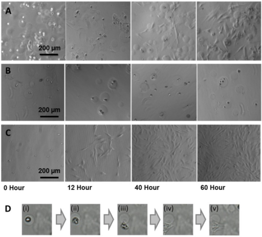 Optical micrographs showing the release of human fibroblast cells onto collagen coated tissue culture dishes from microcapsules composed of (A) agarose–gelatin–fibrinogen, (B) agarose only negative controls and (C) non-encapsulated fibroblast controls. (D) Sequence of images (i) to (v) with duration of ~1.5 h showing the release of a human fibroblast cell from an agarose–gelatin–fibrinogen capsule onto the culture substratum.