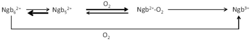 Proposed mechanism for the autoxidation of neuroglobin.