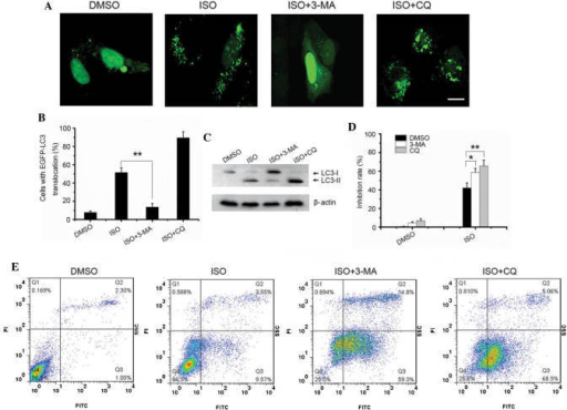 Inhibition of autophagy sensitizes A549 cells to ISO-induced growth inhibition and apoptosis. (A) pEGFP-LC3-transfected A549 cells were treated with 4 μM isorhamnetin alone or in combination with 10 mM 3-MA or 50 μM CQ for 24 h, and autophagy was observed using confocal microscopy (scale bar, 10 μm). (B) The percentages of cells with LC3 translocation as indicated by the formation of dots were counted (n=250 cells/sample). Values are expressed as the mean ± standard deviation of three independent experiments (**P<0.01). (C) Endogenous LC3-II levels in cells with the same treatment as in A were detected by western blotting using the LC3B antibody. (D) A549 cells were treated as in C, and an MTT cell viability assay was conducted. Values are expressed as the mean ± standard deviation of three independent experiments (*P<0.05; **P<0.01). (E) A549 cells were treated as in C and apoptosis was detected using Annexin V/PI staining followed by flow cytometric analysis. ISO, isorhamnetin; DMSO, dimethyl sulfoxide; LC3, microtubule-associated protein 1 light chain 3; PI, propidium iodide; MA, methyladenine; EGFP, enhanced fluorescence protein; CQ, hydroxychloroquine; FITC, fluorescein isothiocyanate.