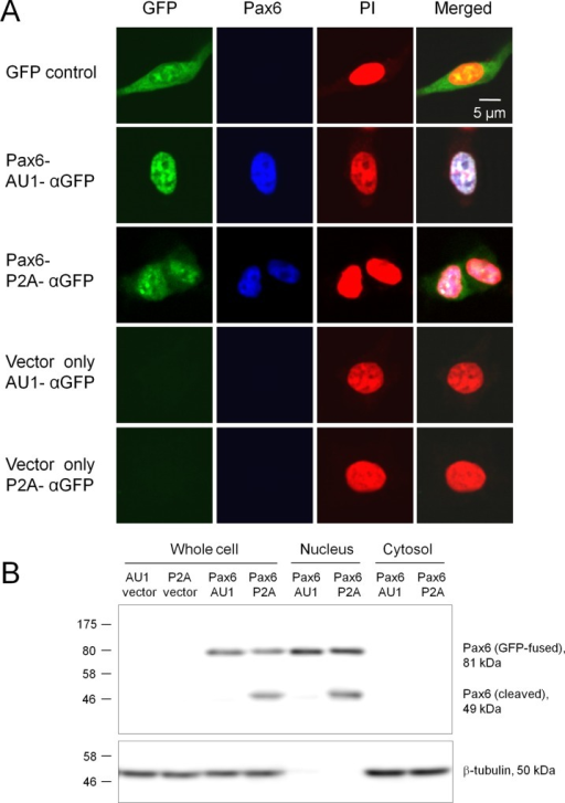 cDNA expression in mammalian cells.A. Fluorescence imaging of mammalian cells expressing Pax6. Mouse Pax6 (a transcription factor involved in neurogenesis) was cloned in pCMVlac-dirTopo-AU1-αGFP and pCMVlac-dirTopo-P2A-αGFP, and expressed in HEK293 cells. Vector controls and pEGFP-C2 (GFP control) were also included in this analysis. Expression and subcellular localization of the gene products were identified by GFP fluorescence (green). Cell nuclei were visualized with propidium iodide (PI, red), and Pax6 was immunostained (blue). Pax6 was exclusively localized in the nuclei. When Pax6 was expressed using the P2A vector, GFP fluorescence tended to diffusely distribute in the cytoplasm as a result of self-cleavage at P2A. Scale bar, 5 μm. B. Western blotting of transfected cells. Pax6 was expressed using the AU1 and P2A vectors in HEK293 cells. Whole cell, nucleus, and cytosol fractions were prepared and probed with an anti-Pax6 antibody (top panel) or anti-β-tubulin antibody (bottom, as an internal control). The vector controls did not have any Pax6 staining. GFP-fused Pax6 was detected at 81 kDa and localized exclusively in the nucleus. About one-half (53%) of Pax6-P2A-αGFP, but not Pax6-AU1-αGFP, was self-cleaved, which produced a 49 kDa band (cleaved Pax6) localizing in the nucleus.β-tubulin (50 kDa) was absent from the nucleus fraction. The numbers on the left indicate the size of pre-stained marker proteins in kDa.