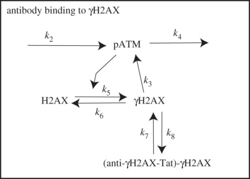 A schematic of inclusion of the anti-γH2AX antibody.
