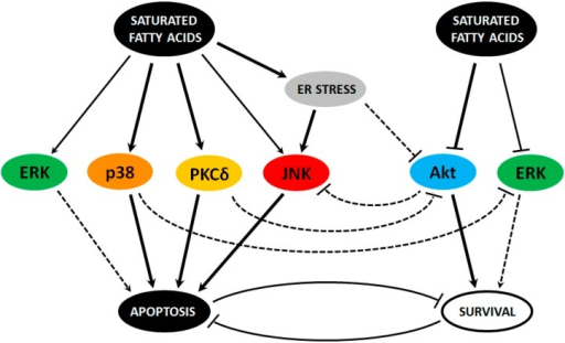 The involvement of c-Jun N-terminal kinase (JNK), protein kinase C (PKC), p38 mitogen-activated protein kinase (p38 MAPK), extracellular signal-regulated kinase (ERK), and Akt kinases and their pathways in apoptosis induction by saturated fatty acids (FAs) in pancreatic β-cells. Solid lines represent relationships with a reasonable probability where bold solid line means more important relationship. Dashed lines represent possible, but less certain, relationships.