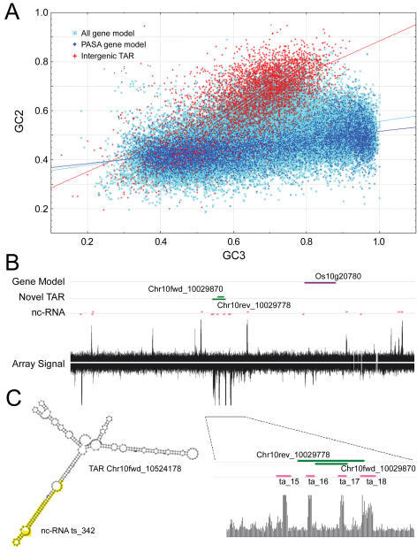 Analysis of non-coding intergenic TARs. (A) Scatterplot of GC2 versus GC3 in all gene models (n = 46,976), FL-cDNA-supported PASA gene models (n = 11,494), and intergenic TARs (n = 5256). The intergenic TARs were distal (>1Kb) to a gene model excluding those with a hit in the ProSite database. (B) Overlapping TARs with putative non-coding transcripts. A 5-Kb region represented by the high-resolution tiling array is shown. The interrogating probes are aligned to the chromosomal coordinates, with the fluorescence intensity value depicted as a vertical line. Gene models, no-exonic TARs and putative non-coding transcripts are depicted as horizontal arrows, which point to the direction of transcription. A portion of the region containing four non-coding transcripts and a pair of TARs is enlarged and shown at the bottom. (C) Predicted secondary structure of the TAR Chr10fwd_10524178. The sequence corresponding to the putative nc-RNA ts_342 is highlighted.