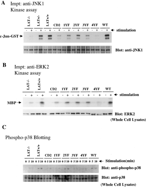 MAP kinase activity in BMMCs after antigen stimulation. (A and B) ERK and JNK activities in BMMCs after antigen stimulation. BMMCs were sensitized with 1 μg/ml anti-DNP IgE and stimulated with 100 ng/ml DNP-HSA for 10 min. (A) JNK1 kinase activity was measured by in vitro kinase assay. (top) An autoradiograph of 32P-incorporated into c-Jun–GST after its phosphorylation by JNK1 immunoprecipitates from BMMCs. The same filter was probed with an anti-JNK1 antibody. (bottom) The JNK1 protein amount is shown. (B) ERK2 kinase activity was measured by in vitro kinase assay. (top) An autoradiograph of 32P-incorporated into myelin basic protein (MBP) after its phosphorylation by ERK2 immunoprecipitates from BMMCs. (bottom) The amount of ERK2 protein in the same cell lysates by anti-ERK2 immunoblot. (C) p38 phosphorylation in BMMCs after antigen stimulation. BMMCs were sensitized with 1 μg/ml anti-DNP IgE and stimulated with 100 ng/ml DNP-HSA for 5 and 10 min. Proteins in cell lysates from 2 × 105 BMMCs were separated by SDS-PAGE, and were transferred to nitrocellulose membrane filters. The membrane was immunoblotted with anti–phospho-p38 antibody. After stripping, the same membrane was immunoblotted with anti-p38. Representative data from three independent experiments are shown.