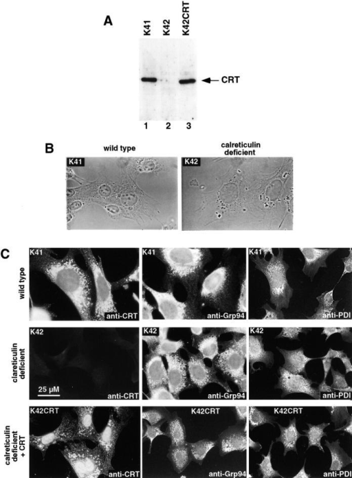 Calreticulin-deficient mouse embryonic fibroblasts. (A) Western blot analysis of calreticulin in mouse embryonic fibroblasts. Wild-type (K41) and calreticulin-deficient (K42) cells were lysed, and proteins were separated by SDS-PAGE, transferred to nitrocellulose membrane, and probed with anticalreticulin antibodies. Lane 1, wild-type K41 mouse embryonic fibroblasts; lane 2, calreticulin-deficient (crt−/−) K42 mouse embryonic fibroblasts; lane 3, calreticulin-deficient fibroblasts transfected with expression vector containing cDNA encoding calreticulin (K42CRT). (B) Phase–contrast analysis of K41 and K42 cells. (C) Immunostaining of K41, K42, and K42CRT cells with anti-CRT, anti-Grp94, and anti-PDI antibodies.