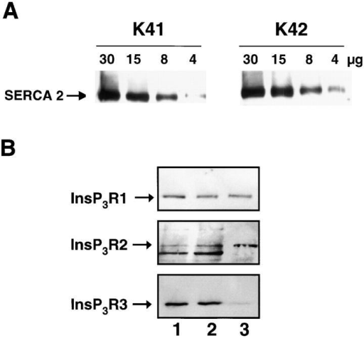 SERCA2 and InsP3R expression in calreticulin-deficient cells. (A) Wild-type (K41) and calreticulin-deficient (K42) mouse embryonic fibroblasts were lysed, and an increasing amount of protein (from 4 to 30 μg) was separated in SDS-PAGE, transferred to nitrocellulose membrane, and probed with anti-SERCA2. (B) Microsomal vesicles were isolated from wild-type and calreticulin-deficient cells followed by protein separation in SDS-PAGE. InsP3R type 1 (InsP3R1), InsP3R type 2 (InsP3R2), and InsP3R type 3 (InsP3R3) proteins were identified by Western blot analysis. Lane 1, K41 cells; lane 2, K42 cells; lane 3, RBL-2H3 control cells. The lower molecular mass protein band in the InsP3R2 panel is an immunoreactive protein not related to InsP3R2, and it was not included in quantitative analysis. 50 μg protein/lane was loaded except for the InsP3R2 samples (100 μg protein/lane). The position of InsP3R is indicated by the arrow.