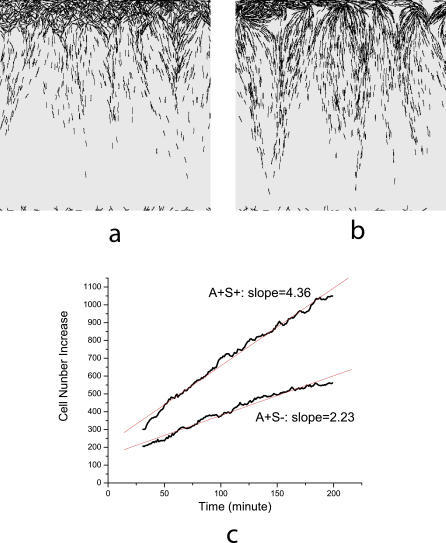 Simulation Images and Linear Growth of Colony(A) and (B) are pictures of the edges of the A+S− and wild-type (A+S+) swarms, respectively, after 200 min of simulation.(C) Linear increase in the number of cells in the simulation domain with time. The red lines are best fits of simulation data with slopes indicated in the plot.