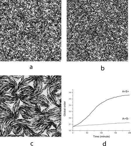 Simulations of Cell Motion Deep Inside the Swarming Colony(A) Initial random distribution of cells in a square area of size 167 μm × 167 μm at the density of 50 K-S units with periodic boundary conditions.(B) A+S− mutant swarm after 3 h of evolution.(C) Wild-type (A+S+) swarm after 3 h of evolution.(D) Plot of the global order parameter Ω for the simulations of wild-type (A+S+) and A+S− mutant swarms.