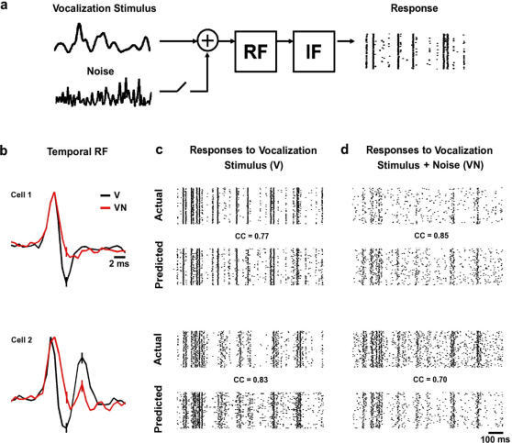Actual and predicted responses of auditory neurons to naturalistic stimuli.a) A model of temporal processing in the auditory pathway. The vocalization signal (with or without additive noise) is passed through either the V or VN RF, and the result is fed into an integrate and fire mechanism to generate spikes. b) The temporal RFs estimated from responses to the V (black) and VN (red) stimuli for two cells with preferred frequencies of 12.5 and 3 KHz, respectively. The RFs were normalized to have the same peak value for plotting. c,d) The actual and predicted responses to repeated presentations of the V and VN stimuli for the two cells for which RFs are shown in b. The correlation coefficients between the predicted and actual responses are shown. The correlation coefficients were calculated for responses to novel stimuli (those not used to fit the model) for firing rate in 2 ms bins averaged over 100 repetitions.