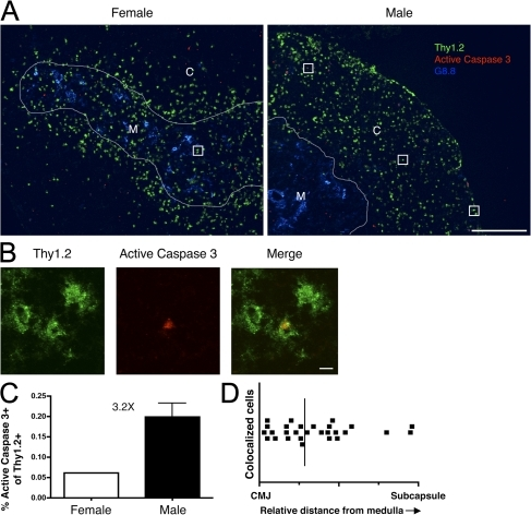 Colocalization of active Caspase 3 and Thy1.2 identifies male-reactive thymocytes undergoing clonal deletion throughout the cortex. Thymus tissue sections from mice in Fig. 3 were analyzed by immunofluorescence for Thy1.2, active Caspase 3, and G8.8. (A) Images were overlayed and examined for colocalization between Thy1.2 and active Caspase 3. White lines are drawn around G8.8+ cells to identify the medulla and boxes identify colocalized cells. C, cortex; M, medulla. Bar, 250 μm. (B) Colocalization was confirmed at high magnification. Bar, 5 μm. (C) The frequency of colocalization is expressed as the number of colocalized cells per total Thy1.2+ cells in ten different images per thymus. Data represent the mean from four different males ± SD. (D) The relative distance of colocalized cells from the medulla was digitally calculated using Photoshop. The drawn line indicates the median of the dataset. The entire figure is representative of two individual groups of chimeras and three replicates of immunofluorescence staining.