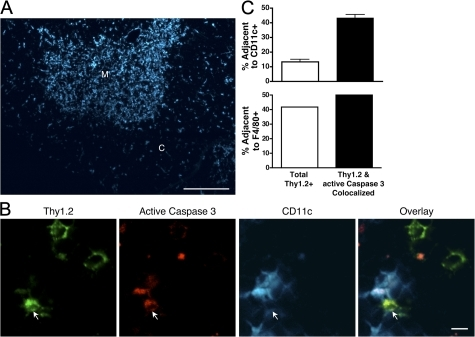 Male-reactive cells undergoing apoptosis preferentially associate with cortical DCs. (A) Immunofluorescence staining for CD11c in the thymus. Areas of cortex and medulla are indicated. Bar, 250 μm. (B) Thymus tissue sections from mice in Figs. 3 and 5 were analyzed by immunofluorescence for Thy1.2, active Caspase 3, and CD11c. A Thy1.2 and active Caspase 3+ colocalized cell immediately adjacent to a CD11c+ cell is indicated by arrows. Bar, 5 μm. (C) The frequency of cells associated with CD11c+ cells was quantified for the indicated subsets. Data represent the mean from four different males ± SD. P < 0.0001. The frequency of cells associated with F4/80+ cells is also depicted. Data are representative of two individual groups of chimeras and one set of immunofluorescence staining.