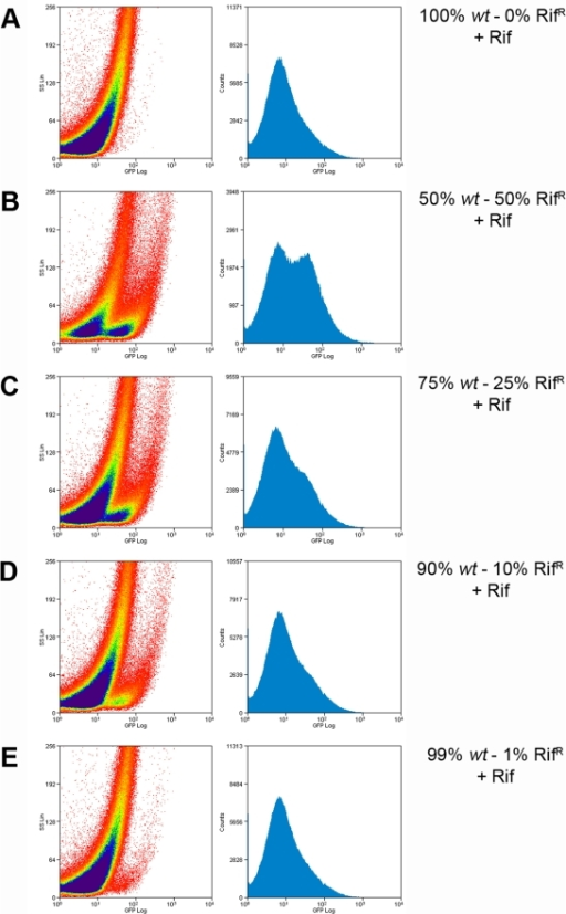 Detection of M. tuberculosis mc26230 RifR cells in a mixed population using flow cytometry.M. tuberculosis mc26230 wt was mixed with the isogenic rifR strain at different proportions. A total of 107 mixed cells were infected with phAE87::hsp60-EGFP in the presence of Rifampicin; cells were fixed and analyze by flow cytometry. (A) 100% wt: 0% RifR (B) 50% wt: 50% RifR; (C) 75% wt : 25% RifR ; (D) 90% wt :10% RifR; (E) 99% wt :1% RifR . Left panels, the intensity of fluorescence is plotted against light side scatter; right panels, the level of fluorescence is plotted against the number of events counted.