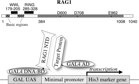 (Top) Linear representation of the mouse RAG1 protein. The central core region (384–1008) is marked in gray, with essential acidic residues. The N-terminal region (residues 1–383) includes a previously identified RING motif, several clusters of basic residues, and (in this report) the WW-like domain. (Bottom) Representation of the two-hybrid assay. The GAL4 DNA-binding domain (GAL4 DNA-BD) is fused to the RAG1 N-terminal domain (NTD) or smaller peptides. A library of target proteins is obtained with each member fused to the GAL4 activation domain (GAL4 AD). In yeast, the GAL4 DNA-BD binds to the UAS element on a reporter construct. A protein–protein interaction between a target protein and the RAG1 NTD protein positions the GAL4 AD to activate transcription of the His3 marker gene.