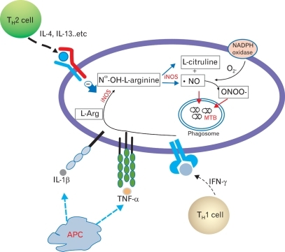 Yang et al. Synthesis, regulation, and antimycobacterial function of NO in mycobacterial infection. Activated inducible nitric oxide synthase (iNOS) produces Nω-OH-L-arginine from L-arginine, and then Nω-OH-L-arginine is transduced to form NO and L-citruline. Synthesis of NO and reactive nitrogen oxides (RNI) are positively regulated by Th1 cytokines, whereas they are negatively regulated by Th2 cytokines. Produced NO and RNIs, which combined with NO and O2-, can directly kill intracellular MTB in the infected cells (including macrophages, epithelial and glial cells), although the action of NO is dependent on the species and specific cell types.