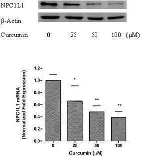 The effect of curcumin on NPC1L1 protein expression in Caco-2 cells. In the upper panel, the cells were treated with curcumin at different concentrations for 24 h, and the whole-cell lysates were analyzed by Western blot. The results are representative of three independent experiments. In the lower panel, NPC1L1 mRNA abundance was determined by real-time RT-PCR as described in Methods. Expression values were normalized to housekeeping genes, and expression in untreated cells was set to 1. Values shown represent means ± SEM of three independent experiments, * P < 0.01, ** P < 0.001 compared to untreated cells.