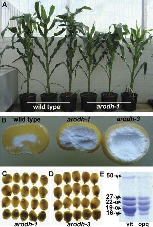 arodh-1 and arodh-3 mutant phenotypes. (A) Phenotype of greenhouse-grown wild-type and arodh-1 isogenic plants (left three, AroDH-1/AroDH-1; right three, arodh-1/arodh-1). (B) Endosperm phenotypes shown in cracked kernels (left, WT; centre, arodh-1; right, arodh-3). (C) Illuminated kernels from an AroDH-1 segregating ear shown on a light box (opaque kernels on the bottom row). (D) Illuminated kernels from an AroDH-3 segregating ear shown on a light box (opaque kernels on the bottom row). (E) SDS–PAGE separation of the zein fraction from vitreous and opaque kernels of an AroDH-1 segregating ear.