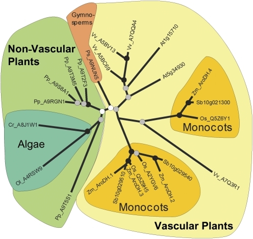 Phylogenic analysis of maize and other plant AroDH genes. Genus-species codes were prepended to the accessions and names: At, Arabidopsis thaliana; Cr, Chlamydomonas reinhardtii; Os, Oryza sativa; Ol, Ostreococcus lucimarinus; Pp, Physcomitrella patens; Ps, Picea sitchensis; Sb, Sorghum bicolor; Vv, Vitis vinifera; and Zm, Zea mays. Coloured backgrounds denote taxonomic groups as follows: light green designates non-vascular plants (moss and algae); light yellow designates vascular plants (gymnosperms and angiosperms); blue-green designates algae (Chlamydomonas and Ostreococcus); peach designates gymnosperms (Picea); and gold designates monocots (Orzya, Sorghum, and Zea).