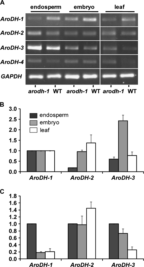 Expression of AroDH family genes in maize tissues. (A) RT-PCR analysis of AroDH-1–AroDH-4 in arodh-1 mutant and wild-type tissues. (B) Real-time qRT-PCR analysis of AroDH-2 and AroDH-3 showing their expression relative to AroDH-1 expression in endosperm, embryo, and leaf tissues (shown as 1 relative expression unit). (C) Real-time qRT-PCR analysis of embryo and leaf expression relative to endosperm expression for AroDH-1, AroDH-2, and AroDH-3 (each gene relative to its own endosperm expression level; 1 relative expression unit). The key (black=endosperm, grey=embryo, white=leaf) for B also applies to C.
