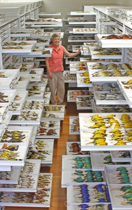 Natural history museum collections are tremendous repositories of specimens and data of many sorts, including phenotypes, tissue samples, vocal recordings, geographic distributions, parasites, and diet.Photo by Jeremiah Trimble, Department of Ornithology, Museum of Comparative Zoology, Harvard University.
