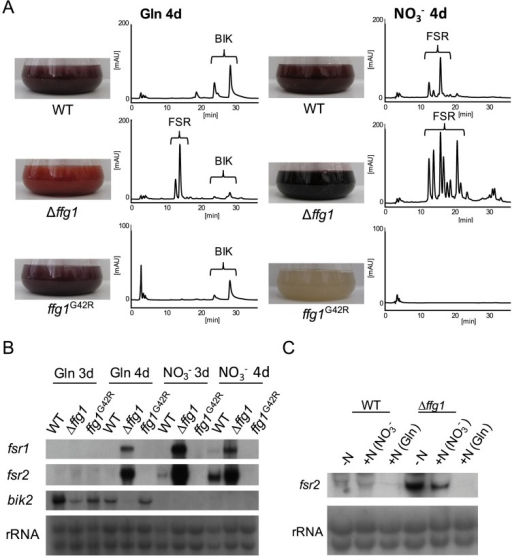 FfG1 has distinct functions as a repressor for fusarubin biosynthesis.The WT, ΔffG1 and ffG1G42R mutants were grown in ICI synthetic media either under fusarubin biosynthesis-repressing (6 mM glutamine (Gln)) or fusarubin biosynthesis-favoring (sodium nitrate (NO3−)) conditions. A) After 7 days of incubation, culture filtrates were used for HPLC-DAD analysis (for details see material and methods). Photographs show the flask with the culture broth after 7 days of growth and the corresponding HPLC chromatogram at 450 nm. Brackets indicate metabolites found in the liquid culture: bikaverins (BIK) and fusarubins (FSR). The scale for ffG1G42R was set to 20 mAU due to a lower accumulation of compounds in the liquid culture compared to the other strains. B) After 3 and 4 days, mycelia were harvested and used for northern blot analysis. The genes fsr1 and fsr2 (as examples for fusarubin biosynthetic genes) and bik2 (as an example for bikaverin biosynthetic genes) were used as probes. C) WT and Δffg1 were grown under fusarubin biosynthesis-favoring conditions. After 4 days of growth either glutamine, sodium nitrate or no nitrogen was added and after another 30 min mycelia were harvested and used for Northern blot analysis, fsr2 was used for probing.