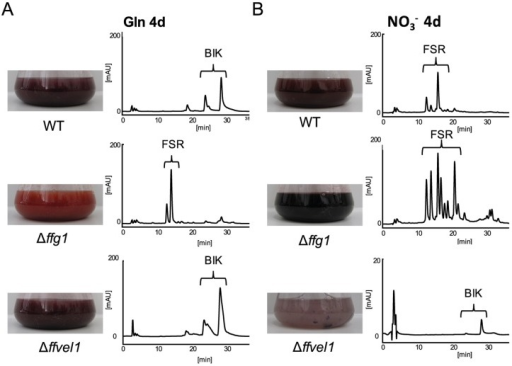 Opposite regulation of pigments by FfVEL1 and FfG1.The WT, Δffg1 and Δffvel1 were grown in ICI synthetic media in either A) bikaverin biosynthesis-favoring (6 mM glutamine (Gln)) or B) fusarubin biosynthesis-favoring (sodium nitrate (NO3−)) conditions for 3, 4 (for Northern blot analysis) or 7 days (for HPLC analysis). Liquid culture fluid was filtered and used for HPLC-DAD analysis (for details see material & methods). Photograph of flasks containing culture broth of the indicated strains after 7 days of growth and the corresponding HPLC chromatogram at 450 nm. Brackets indicate group of metabolites found in the liquid culture: bikaverins (BIK) and fusarubins (FSR). The scale for Δffvel1 was set to 20 mAU due to a lower accumulation of compounds compared to the other strains.