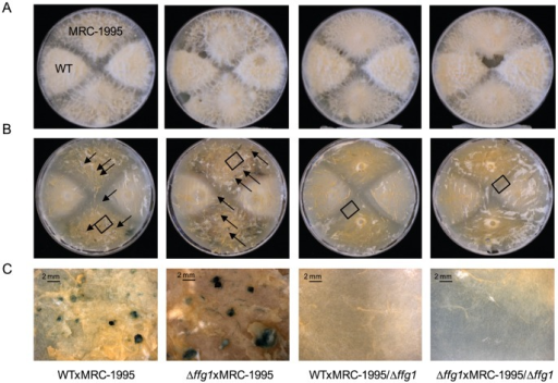Loss of FfG1 affects perithecial formation.Strains were crossed as described in Materials and Methods. Crosses from left to right were WTxMRC-1995, Δffg1xMRC-1995, WTxMRC-1995/Δffg1, Δffg1xMRC-1995/Δffg1. A) Photographs of crosses after 10 weeks. B) Aerial hyphae were removed prior to microscopy to uncover the fruiting bodies (indicated by black arrows). C) Enlargement of segments high-lighted by black boxes in B). Perithecia are formed during crosses of WTxMRC-1995 and Δffg1xMRC-1995, but not in WTxMRC-1995/Δffg1, Δffg1xMRC-1995/Δffg1. Size standards are shown in the lower left corners.