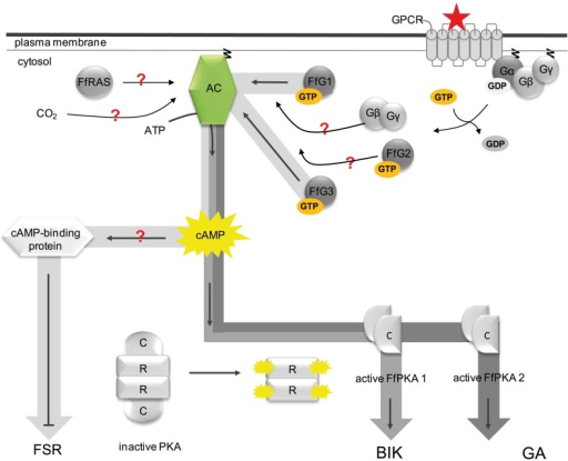 Involvement of G protein-mediated/cAMP signaling in the regulation of secondary metabolism in F. fujikuroi.Involvement of G protein-mediated/cAMP signaling in the regulation of secondary metabolism in F. fujikuroi. In the inactive state one GDP-bound Gα subunit (either one of FfG1, FfG2 and FfG3) is tightly associated with the Gβγ subunit forming a heterotrimeric G protein that is associated with a seven transmembrane helices-containing GPCR. In addition the Gα and Gγ subunits further anchor the heterotrimeric G protein to the plasma membrane through a N-terminal and a C-terminal acyl group, respectively. Ligand-binding to the GPCR leads to the exchange of GDP for GTP, resulting in a conformational change of the Gβγ-binding site and the dissociation of the Gα subunit from the Gβγ dimer. Each component (FfG1, FfG2, FfG3 or Gβγ) may now stimulate the downstream target, FfAC. FfAC in turn produces cAMP from ATP and activates the PKA. FfPKA1 then activates bikaverin biosynthesis, while FfPKA2 activates GA biosynthesis. Neither FfG1 nor FfG3 are involved in the regulation of GA biosynthesis. Whether FfG2, the monomeric G protein FfRAS or the CO2 level regulates GA biosynthesis via stimulation of cAMP accumulation awaits proof. Besides the PKA another cAMP-binding protein is most likely involved in the repression of fusarubin biosynthesis.