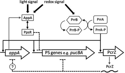 Figure 1. Schematic illustration of the regulatory network controlling photosynthesis (PS) gene expression, modified from Mank et al.6 PrrA activates the expression of PS genes and PcrZ at low oxygen tension, whereas PcrZ counteracts the activation of PS genes. PcrZ also reduces, directly or indirectly, the amount of AppA, leading to a stronger repression of PS genes by PpsR.