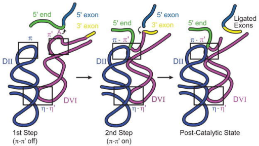 Model for DVI as the conformational switch for splicing. π-π' mediates the transition between the two steps of catalysis. See text for details.