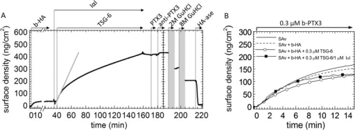 PTX3 does not bind to HA films that had previously been exposed to a mixture of IαI/TSG-6.A, binding assays by SE. 1 μm IαI and 0.3 μm TSG-6 were sequentially added to the HA film without premixing. In this case, the film contains an additional fraction of non-covalently but stably bound protein (45). The gray solid line is a linear fit revealing an initial binding rate of 13 ng/cm2/min. Incubation with 0.3 μm PTX3 does not affect the surface density of the film. The lack of a significant response upon incubation with 0.08 μm anti-PTX3 antibody (MNB4) confirms the absence of PTX3 binding. The curve shown is representative of a set of measurements performed in duplicate. B, HA films are permeable to PTX3. b-PTX3 was added to SAv-covered surfaces without any further functionalization (solid line) or in the presence of HA (837 kDa) films with a surface density of 35 ± 5 ng/cm2. HA films were presented pure (dashed line) or following exposure to 0.3 μm rhTSG-6 (solid line with open circles) or to a mixture of 1 μm IαI and 0.3 μm TSG-6 (premixed for 1 min before the addition to the HA film; solid line with filled squares). Only initial binding is shown. Binding with similar rates is observed for all surfaces. Because PTX3 alone did not show binding on any of these surfaces, the binding of b-PTX3 must occur via the biotin moiety to SAv, indicating that all HA films are permeable to PTX3.