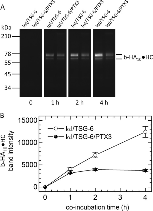 PTX3 inhibits the catalytic activity of TSG-6 in HC transfer. In a solution-phase assay, 0.27 μm TSG-6, 1.8 μm IαI, and 20 μm b-HA10 were co-incubated with or without 1.8 μm PTX3 for various times and subsequently analyzed by Western blots with streptavidin-conjugated Alexa 488, which recognizes biotin in b-HA10·HC complexes. A, Western blot with co-incubation times indicated. B, densitometric analysis of Western blots. Error bars, S.E. from three blots. Data are representative of two independent experiments.