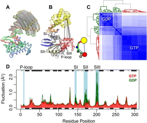 Investigating functional dynamics in heterotrimeric G-proteins. (A) Prediction of large-scale opening motions. (B) Prediction of dynamically coupled sub-domains (colored regions) from correlation network analysis of NMA results. Inter-subdomain couplings are highlighted with thick black lines. (C) Characterization of distinct GTP-active and GDP-inactive states from a clustering of NMA RMSIP results. (D) Fluctuation analysis reveals structural regions with significantly distinct flexibilities (highlighted with a blue shaded background are sites with a p-value < 0.005) between the active (red) and inactive (green) states. Full details for the reproduction of this analysis along with PCA that distinguishes GDP and GTP states can be found in the Additional file 1.