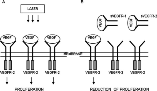 The hypothesis of the action of VEGF-A and soluble receptors sVEGFR-1 and sVEGFR-2 in the supernatant. a The connection of VEGF-A with VEGFR-2 receptor located on the cell membrane contributes to endothelial cell proliferation. b Competitive VEGF-A binding with soluble forms of receptors sVEGFR-1 and sVEGFR-2 present in the supernatant leads to reducing endothelial proliferation