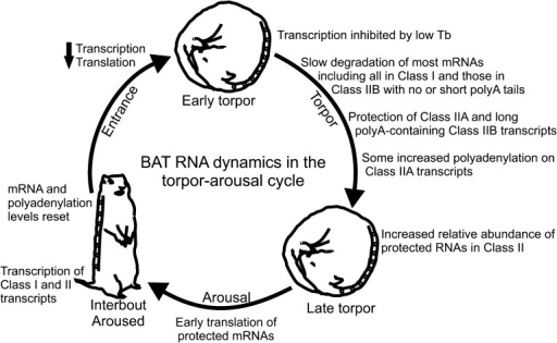 Model of BAT RNA dynamics in hibernation.Physiological stages of the torpor–arousal cycle are listed inside ofthe arrows and underneath representative animals. Key RNA changes are noted.See text for detailed explanation.DOI:http://dx.doi.org/10.7554/eLife.04517.018