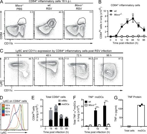 MAVS-dependent recruitment of TNF-producing CD64hi inflammatory cells to RSV-infected lungs. (A) Representative plots of CD11bhiCD64hi inflammatory cells in the lungs of mock (PBS)- or RSV-infected WT or Mavs−/− mice 18 h p.i. with RSV. (B) Quantification of CD64hi inflammatory cells in the lungs of WT and Mavs−/− mice during infection. Data are mean ± SEM of four to five mice per group. (C) Representative plots of Ly6C and CD11c expression on CD64hiCD11bhi inflammatory cells (gated as in Fig. S1 A) at the indicated time points after RSV infection of WT mice. (D) Representative histograms of Ly6C expression on CD64hi inflammatory cells at the indicated time points p.i. of WT mice. (E) Quantification of the total number of CD64hi cells split into CD11chi (moDCs; black) or CD11clo (infMos; gray) at the indicated time points p.i. of WT mice. Data are mean ± SEM of five mice per group. (F) Number of TNF-positive CD64hiCD11chi moDCs in the lungs of WT or Mavs−/− mice at the indicated time points p.i. 0 h represents mock (PBS)-infected mice. Expression was determined by intracellular staining for TNF and flow cytometry analysis. Data are mean ± SEM of five mice per group. (G) Ex vivo production of TNF secreted into culture supernatants by total lung cells and FACS-sorted CD64hiCD11chi moDCs isolated from WT mice at 18 h p.i. Each point represents one individual experiment using cells pooled from 25–40 mice. In A–F, the data are representative of at least two independent experiments. Statistical significance of differences between WT and Mavs−/− mice at different time points was determined by unpaired Student's t test. **, P < 0.01; ***, P < 0.001.