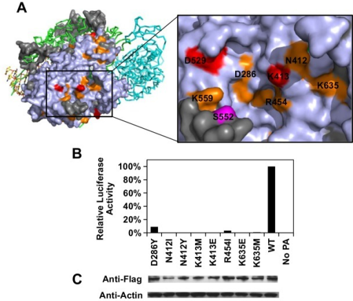 Structural analysis of putative functional residues.(A) The location of a putative functional subdomain is shown on the structure of the influenza polymerase heterotrimeric complex (PDB: 4WSB) [64]. For PA, residues were colored as according to the scheme presented in Fig 4. A putative host determinant residue, S552, is colored in magenta. Note, residue 559 carries an arginine [R] instead of a lysine [K] on the PA of A/WSN/33. (B) The effects of different PA point mutations on influenza polymerase activity were measured using an influenza A virus-inducible luciferase reporter assay [63]. Error bar represents the standard deviation of three biological replicates. (C) The expression level of each C-terminal Flag-tagged PA mutant or WT was tested by immunoblot analysis. The expression level of actin was served as a loading control.
