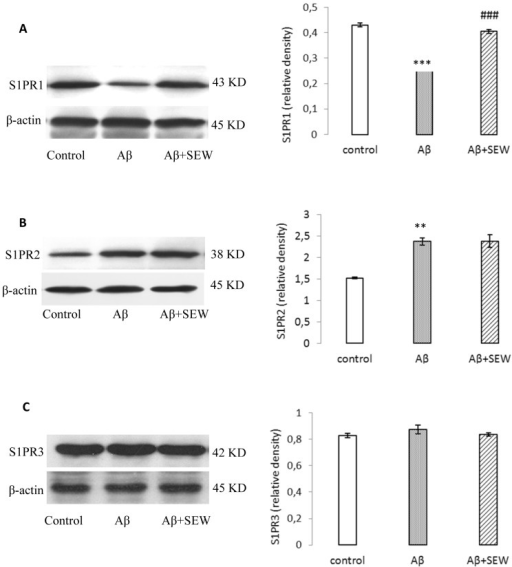 Effect of SEW2871 on S1PR1-3 expression in Aβ1-42 injected rats evaluated by Western blotting method. 15 days after the stereotaxic procedure, the expression of S1PR1-3 in hippocampus was detected. Results showed decreasing of S1PR1 (A) and increasing of S1PR2 (B) in AD model rats. Treatment of AD model rats with SEW2871 resulted in elevated levels of S1PR1 (A) in hippocampus and had no effect on S1P2 (B). The expression of S1P3 did not show any change between groups (C). β-actin protein was used here as an internal control. One representative Western blot is shown; n = 6. The band density values were calculated and the values from the control were used as 1. Values are the mean ± S.E.M., **P<0.01 and ***P<0.001 vs. control group; ### P<0.001 vs. Aβ group.