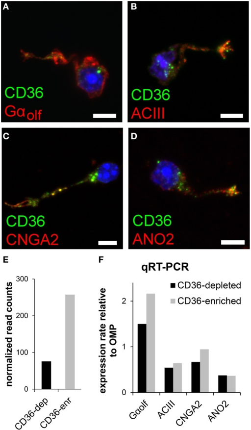 CD36 neurons express olfactory signal transduction proteins. (A–D) Confocal images of dissociated olfactory sensory neurons from P8 animals. Immunostainings show co-expression of CD36 (green) and Gαolf(A), ACIII (B), CNGA2 (C), and ANO2 (D) (red). (E) Normalized CD36 read counts (Trimmed Mean of M-values (TMM) method) for both cell fractions CD36-depleted (CD36-dep) and CD36-enriched (CD36-enr) used for transcriptome sequencing. Diagram illustrates the enhancement of CD36 (3.4 fold) in the CD36-enriched fraction (257.5) compared to the CD36-depleted fraction (75.7). (F) Quantitative real-time PCR results for Gαolf, ACIII, CNGA2, and ANO2 comparing CD36-enriched and CD36-depleted cell fraction from magnetic CD36 cell sorting in P8 animals. Data was normalized to OMP. Scale bars: 5 μm (A–D).