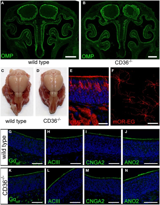Olfactory system of CD36 knockout mice. (A,B) Widefield fluorescence microscopy images of P8 wild type (A) and CD36−/−(B) cryosections immunostained for the mature olfactory neuron marker OMP. Olfactory bulb and turbinates show no morphological abnormalities. (C,D) Head preparation of wild type (C) and CD36−/−(D) P90 animals showing no differences in OB and OE size and shape. (E) Confocal image (maximum projection) of a P8 CD36−/− cryosection immunostained for OMP (red), CD36 (green) and counterstained with TO-PRO (blue) to visualize cell nuclei. CD36 protein is absent in the olfactory epithelium. (F) Confocal image of a P14 CD36−/−en face preparation immunostained for the olfactory receptor mOR-EG. Immunostaining shows normal mOR-EG localization to olfactory knobs and cilia and unaltered ciliary length. (G–N) Confocal images (maximum projections) of wild type (G–J) and CD36−/−(K–N) cryosections immunostained for classical olfactory transduction proteins Gαolf, ACIII, CNGA2, and ANO2 (green) and counterstained with TO-PRO (blue). Signal cascade proteins are mainly restricted to the ciliary layer in both wild type and CD36−/− P8 animals and no abnormal protein distributions are observed. Scale bars: 20 μm (E,F), 50 μm (G–N), 500 μm (A,B).